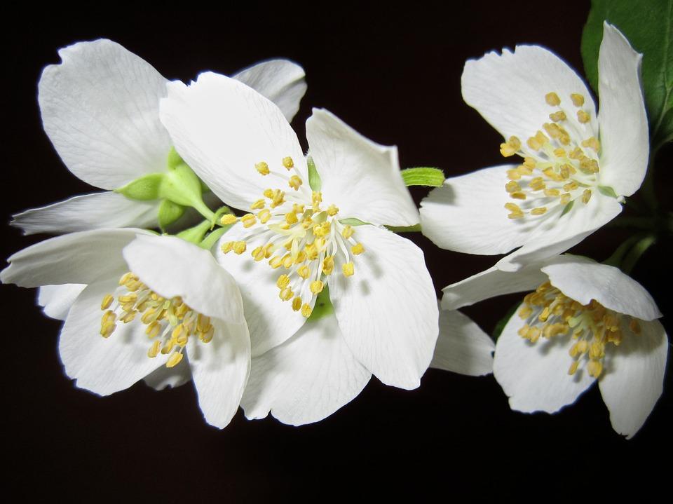 flori iasomie